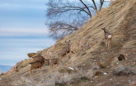 Chronic Wasting Disease: The Rare Disorder Threatening Utah's Deer Population